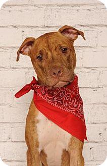 Plott Hound/Greyhound Mix Dog for adoption in Titusville, Florida - Copper
