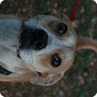 Adopt A Pet :: Gus - Attalla, AL