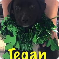 Adopt A Pet :: Tegan-Pending! - Detroit, MI