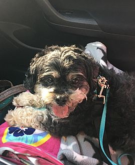 Miniature Schnauzer/Shih Tzu Mix Dog for adoption in Seymour, Connecticut - Toby: loves car rides! (TN)