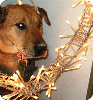 Shar Pei Mix Dog for adoption in Duncan, British Columbia - Willow