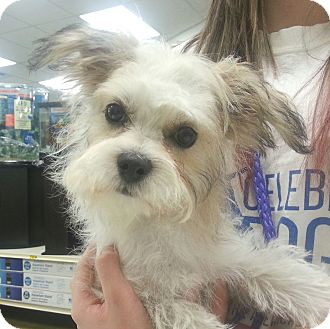 Maltese Mix Puppy for adoption in Orlando, Florida - JoJo