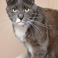 Domestic Shorthair Cat for adoption in Dallas, Texas - NICHOLAS
