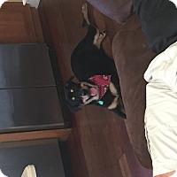 Adopt A Pet :: Roxie - Brewster, NY
