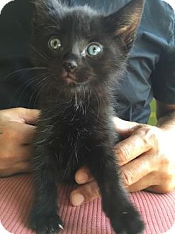 Domestic Shorthair Kitten for adoption in Fountain Hills, Arizona - INKWELL