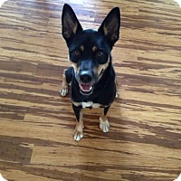 Shepherd (Unknown Type) Mix Dog for adoption in Nashua, New Hampshire - Saxon (Cat Friendly)