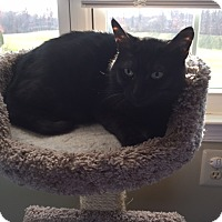 Domestic Shorthair Cat for adoption in Newtown, Pennsylvania - Opal