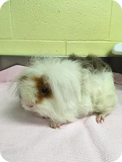 Guinea Pig for adoption in Green Bay, Wisconsin - Charlette