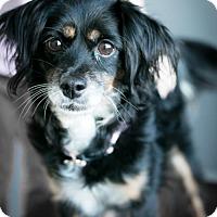 Adopt A Pet :: Cesa 'say-sah' - Westminster, CO