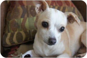 Chihuahua Mix Dog for adoption in Xenia, Ohio - Maria
