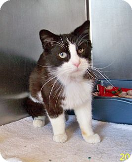 Domestic Mediumhair Cat for adoption in Dover, Ohio - Mister