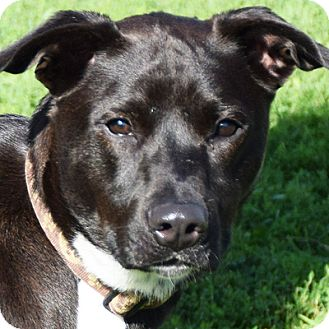 Labrador Retriever/Border Collie Mix Dog for adoption in Huntley, Illinois - Angelo