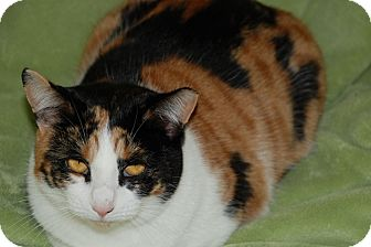 American Shorthair Cat for adoption in Salem, West Virginia - Callie
