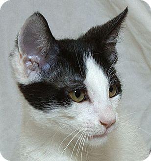 Domestic Shorthair Kitten for adoption in Sacramento, California - Benicio  V