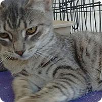 Domestic Shorthair Cat for adoption in Visalia, California - Precious