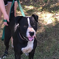 American Pit Bull Terrier/Great Dane Mix Dog for adoption in Jacksonville, Texas - Brute