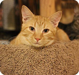 Domestic Shorthair Kitten for adoption in Carlisle, Pennsylvania - Persy