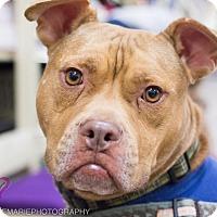 Adopt A Pet :: Hodor - Grand Rapids, MI