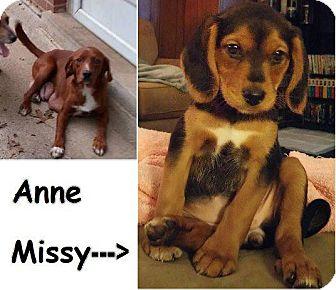 Beagle Mix Dog for adoption in Danbury, Connecticut - Anne