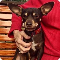 Adopt A Pet :: Paco Bell 10 pounds of family fun! - Rowayton, CT
