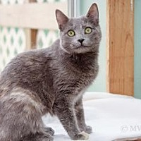 Domestic Shorthair Cat for adoption in Norman, Oklahoma - Gwen