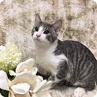 Adopt A Pet :: Thoreau - At Adoption Center - Frankfort, IL