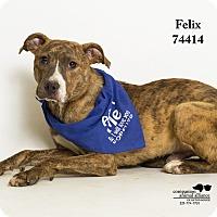 Adopt A Pet :: Felix - Baton Rouge, LA
