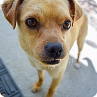 Adopt A Pet :: Chops - Prosser, WA