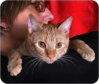 Domestic Shorthair Cat for adoption in Nashville, Tennessee - Cinders
