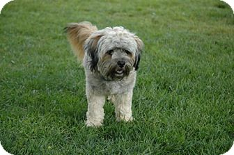 Havanese/Shih Tzu Mix Dog for adoption in Mission Viejo, California - CAMERON