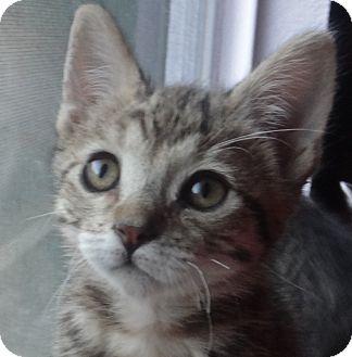 Abyssinian Kitten for adoption in Escondido, California - Pebbles