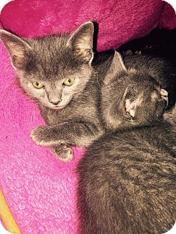 Russian Blue Kitten for adoption in Charlotte, North Carolina - Mouse