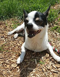 Jack Russell Terrier/Chihuahua Mix Dog for adoption in Elizabethtown, Pennsylvania - Buggs