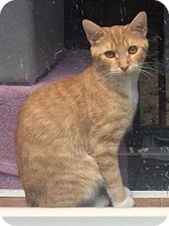 Domestic Shorthair Cat for adoption in Cameron, North Carolina - Princess Peachy Cream