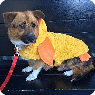 Corgi Mix Dog for adoption in Redondo Beach, California - Molly