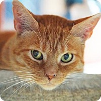 Domestic Shorthair Cat for adoption in Alameda, California - Ernie