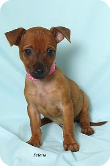 Chihuahua Mix Puppy for adoption in Kerrville, Texas - Selena