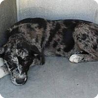 Adopt A Pet :: Blue - Albany, NY