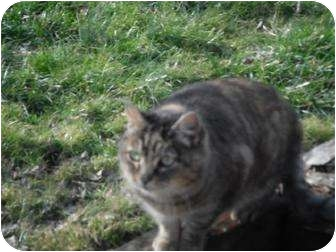 Domestic Mediumhair Cat for adoption in Rancho Palos Verdes, California - Troika