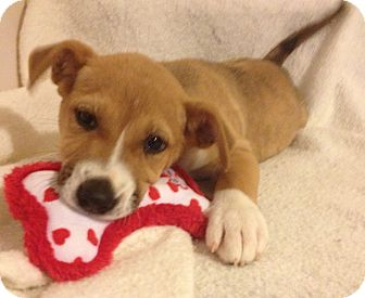 Shepherd (Unknown Type) Mix Puppy for adoption in Manchester, Connecticut - GINGER MEET ME 5/17