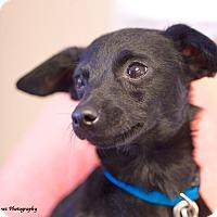 Adopt A Pet :: Alfie - Homewood, AL