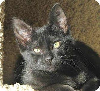 Domestic Shorthair Kitten for adoption in Davis, California - Sunshine