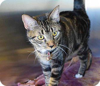 Domestic Shorthair Cat for adoption in Sierra Vista, Arizona - Starsky