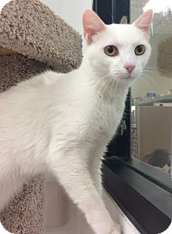 Domestic Shorthair Cat for adoption in Lake Elsinore, California - Marshmallow