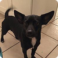 Adopt A Pet :: Juno - St. Charles, MO