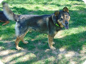 German Shepherd Dog Mix Dog for adoption in Memphis, Tennessee - Chevy (Cat Friendly)