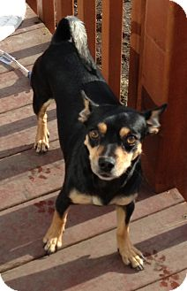 Jack Russell Terrier Dog for adoption in Tumwater, Washington - Nikki