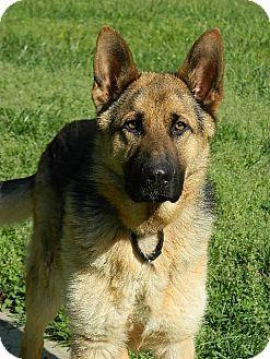 German Shepherd Dog Dog for adoption in Nashville, Tennessee - Leo