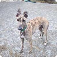 Adopt A Pet :: Nouncer - Roanoke, VA