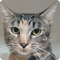 Domestic Shorthair Cat for adoption in Redwood City, California - Jilly
